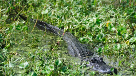 An adult aligator hiding in the Louisiana Swamps, near New Orleans.