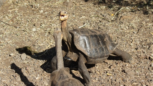 Two giant tortoises face off at the Charles Darwin Research Station.