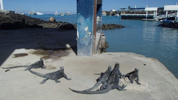 Marine iguanas hang out in town in Puerto Ayora.