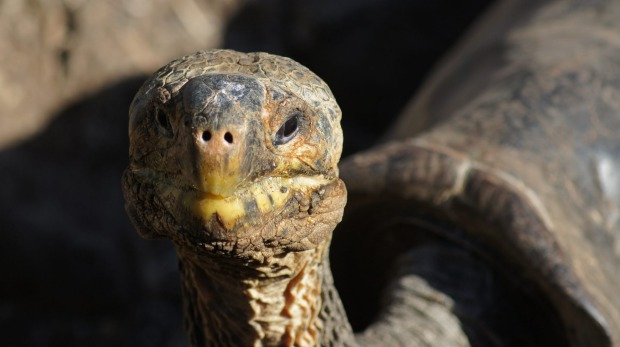 The giant tortoises are believed to be able to live for well over 100 years.