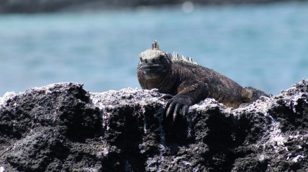 A marine iguana relaxes on a rock.