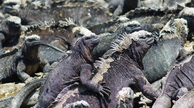 Marine iguanas warm up in the sun. These creatures helped inspire the view that the Galapagos was a hell on earth.