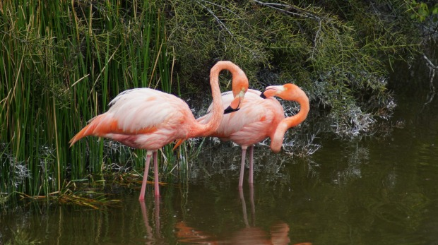 A small population of flamingoes live in the Galapagos, feeding from salt water pools.