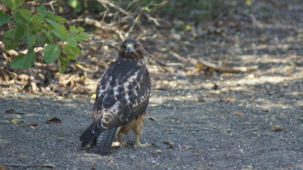 A young Galapagos hawk. Another species endemic to the islands.