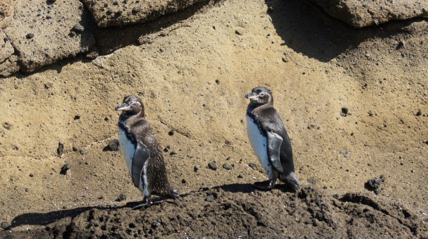 Galapagos penguins, the only penguins to live north of the equator.