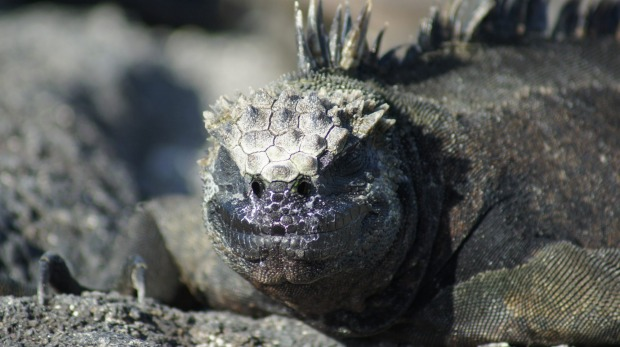 Marine iguanas extract fresh water from sea water, blowing the salt through their nostrils.