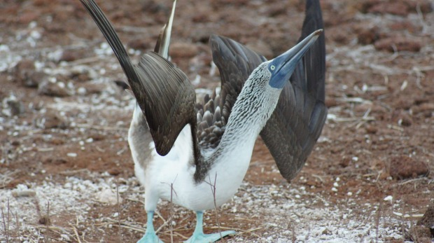 A blue-footed booby dances to attract some female attention.