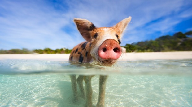 The Bahamas' famous swimming pigs are dying, and tourists