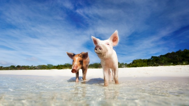 The Bahamas' famous swimming pigs are dying, and tourists are to blame