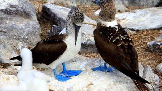 Blue-footed boobies with a chick on Espanola Island.