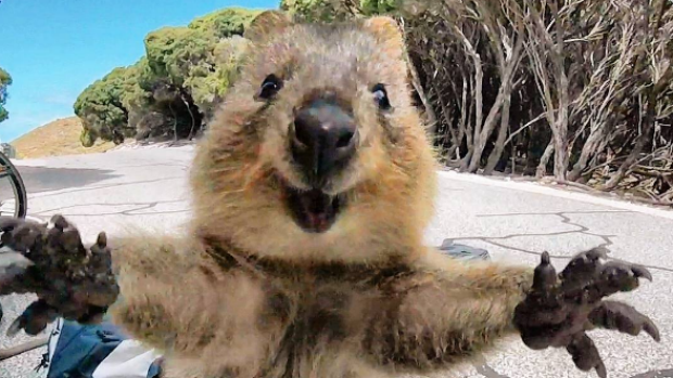 'World's happiest animal', the quokka, becomes the most ...