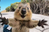 Quokka: 'World's happiest animal'.