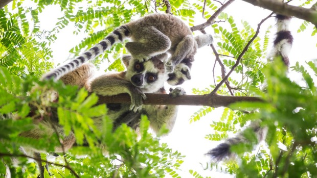 Cute ring tailed lemur baby on the head of his mother playing on a green tree in Madagascar.