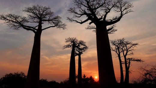 Allee des Baobabs: The trees are a sight to be cherished.