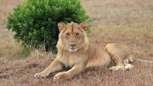 Young male lion.
