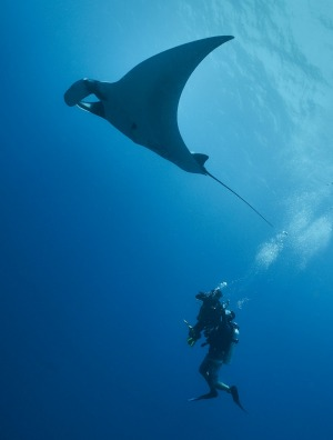 Oceanic manta ray and diver.