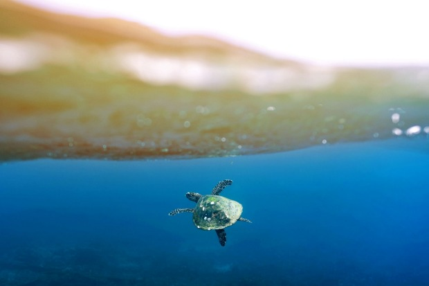 I was probably half way to Hawaii by the time I took this shot, swimming alongside this playful Hawksbill out from Ned's ...