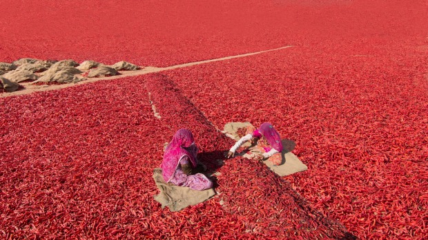 An elevated view of villagers sorting out chillis in the drying field of Rajasthan, India.