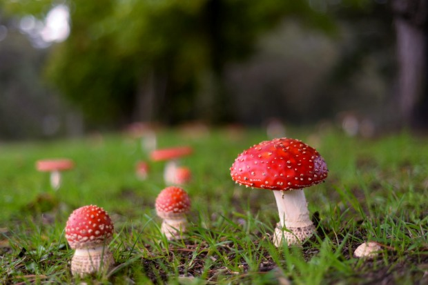 While on a weekend getaway we spotted these field of mushrooms by the side of the road near Blackheath, Blue Mountains. ...