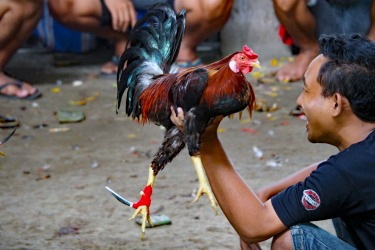 Whilst holidaying in Bali in January I found my way into a Cock Fight which are illegal but extremely popular on the ...