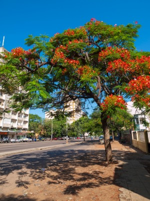 Jacaranda trees add colour to Maputo's wide streets.