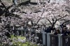 People take photographs of cherry trees in bloom in Tokyo, Japan. Japan's cherry blossom season is reaching its climax ...