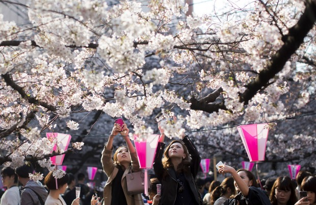 Women take photographs of cherry trees in bloom in Tokyo, Japan. Japan's cherry blossom season is reaching its climax ...