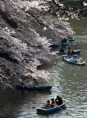 People ride row boats near cherry trees in bloom at the Chidorigafuchi moat in Tokyo, Japan. Japan's cherry blossom ...
