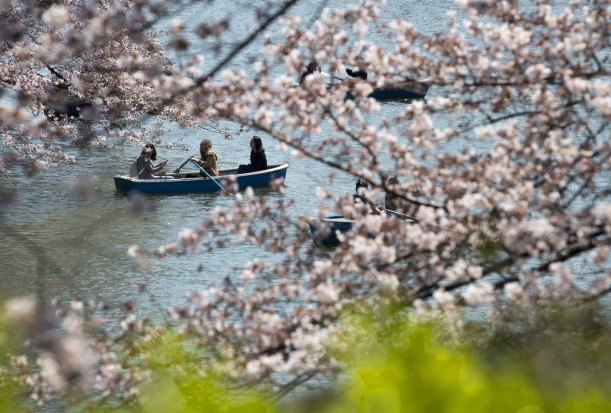 People ride a row boat near cherry trees in bloom at the Chidorigafuchi moat in Tokyo, Japan. Japan's cherry blossom ...