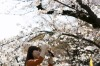A woman takes a photograph of a cherry tree in bloom on April 4, 2017 in Tokyo, Japan. Japan's cherry blossom season is ...