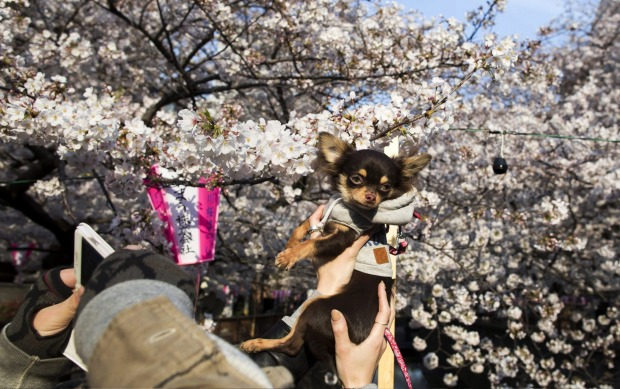 A dog is held for a photograph in front of cherry trees in bloom in Tokyo, Japan. Japan's cherry blossom season is ...