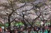 Visitors stroll under blooming cherry blossoms at Ueno Park in Tokyo,. Cherry blossom season has officially kicked off ...