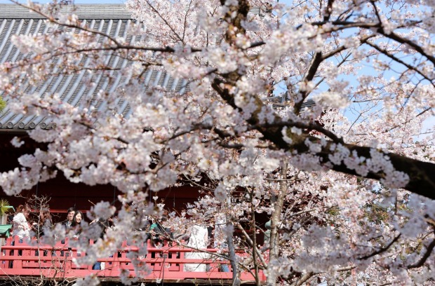 Visitors admire blooming cherry blossoms at Ueno Park in Tokyo. Cherry blossom season has officially kicked off in ...