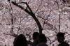Visitors look at blooming cherry blossoms at Ueno Park in Tokyo. Cherry blossom season has officially kicked off in ...