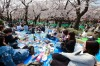 People enjoy a party under the blooming cherry blossoms at Ueno Park, one of the most popular cherry blossoms viewing ...