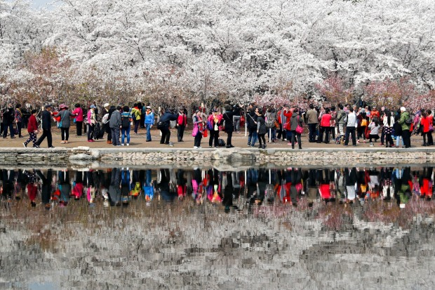 Visitors enjoy the cherry blossoms at the Yuyuantan Park during spring festival in Beijing. People crowded the park, ...