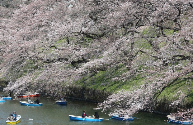 People on boats enjoy the blooming cherry blossoms along the Chidorigafuchi imperial moat in Tokyo.