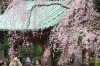 Visitors take a pictures of blooming cherry blossoms at Zojoji Buddhist temple in Tokyo.