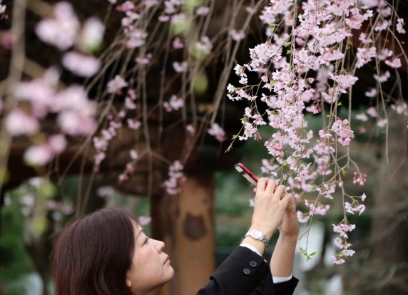 A woman takes pictures of blooming cherry blossoms at Zojoji Buddhist temple in Tokyo.