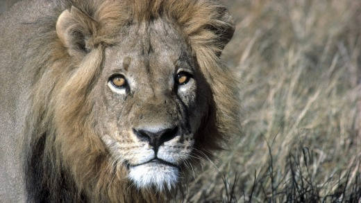 Close encounters with lions are all part of a day's work for an African game park guide.