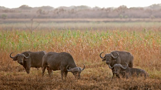 Curios water buffalo observe the goings on.