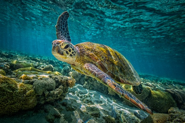 A green turtle swims through the pristine waters of the Great Barrier Reef.