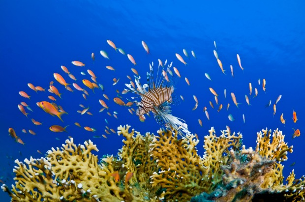 Typical coral reef scene with Anthias, Lionfish and Fire coral.