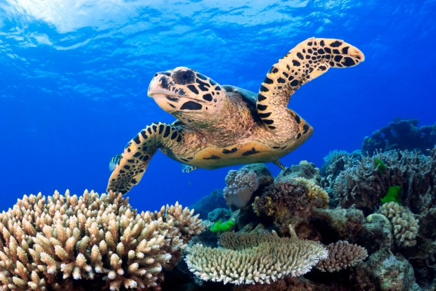 Hawksbill sea turtle swimming over a Coral Reef.