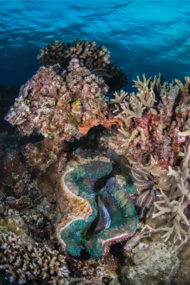 Giant clams are a famous feature of the reef.