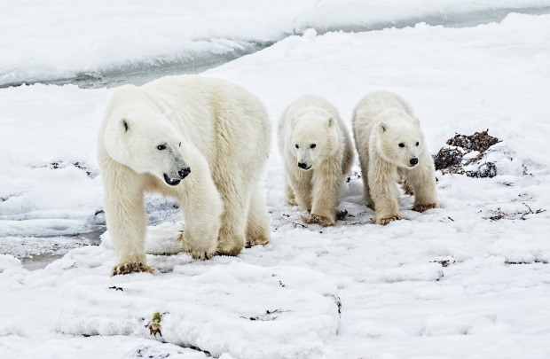 In late November 2016, I was fortunate to visit Hudson Bay in Canada and witness a mother polar bear and her cubs ...