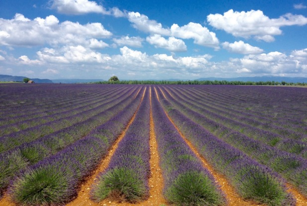 Lavender fields in  in Provence, France.