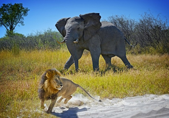 We were sitting in a safari vehicle in Moremi National Park, Botswana, last May watching two lions carousing by the ...