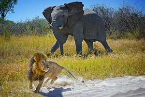 We were sitting in a safari vehicle in Moremi National Park, Botswana last May watching two lions carousing by the ...