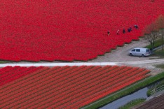 People work in tulip fields surrounding Keukenhof spring garden, in Lisse, some 20 kilometers form Amsterdam, ...